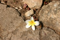 white.flower.rock